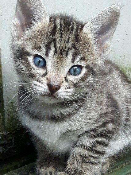 Savannah Cats For Sale Northern California