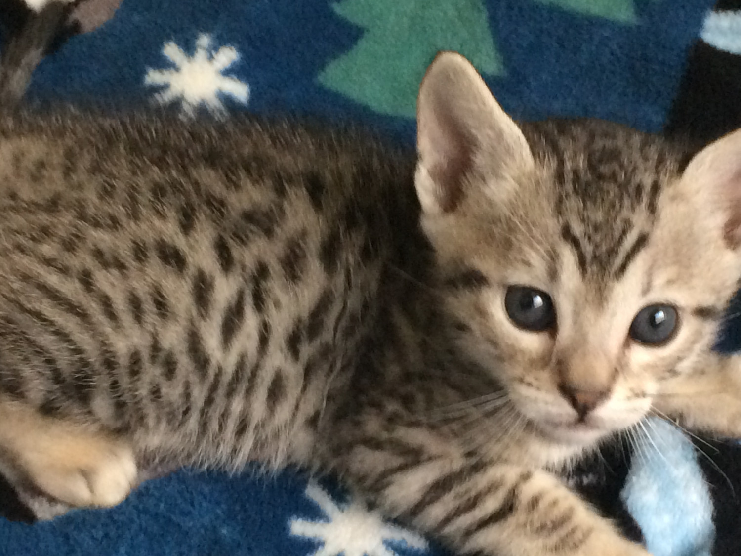 Bengal Cats For Sale In Tucson Arizona