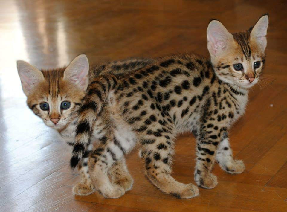 Savannah Cats For Sale | Charlotte, NC #242791 | Petzlover