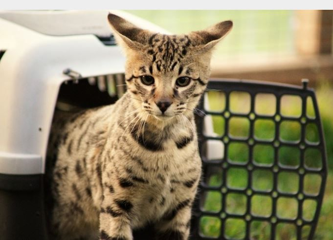 Savannah Cat Rescue Texas