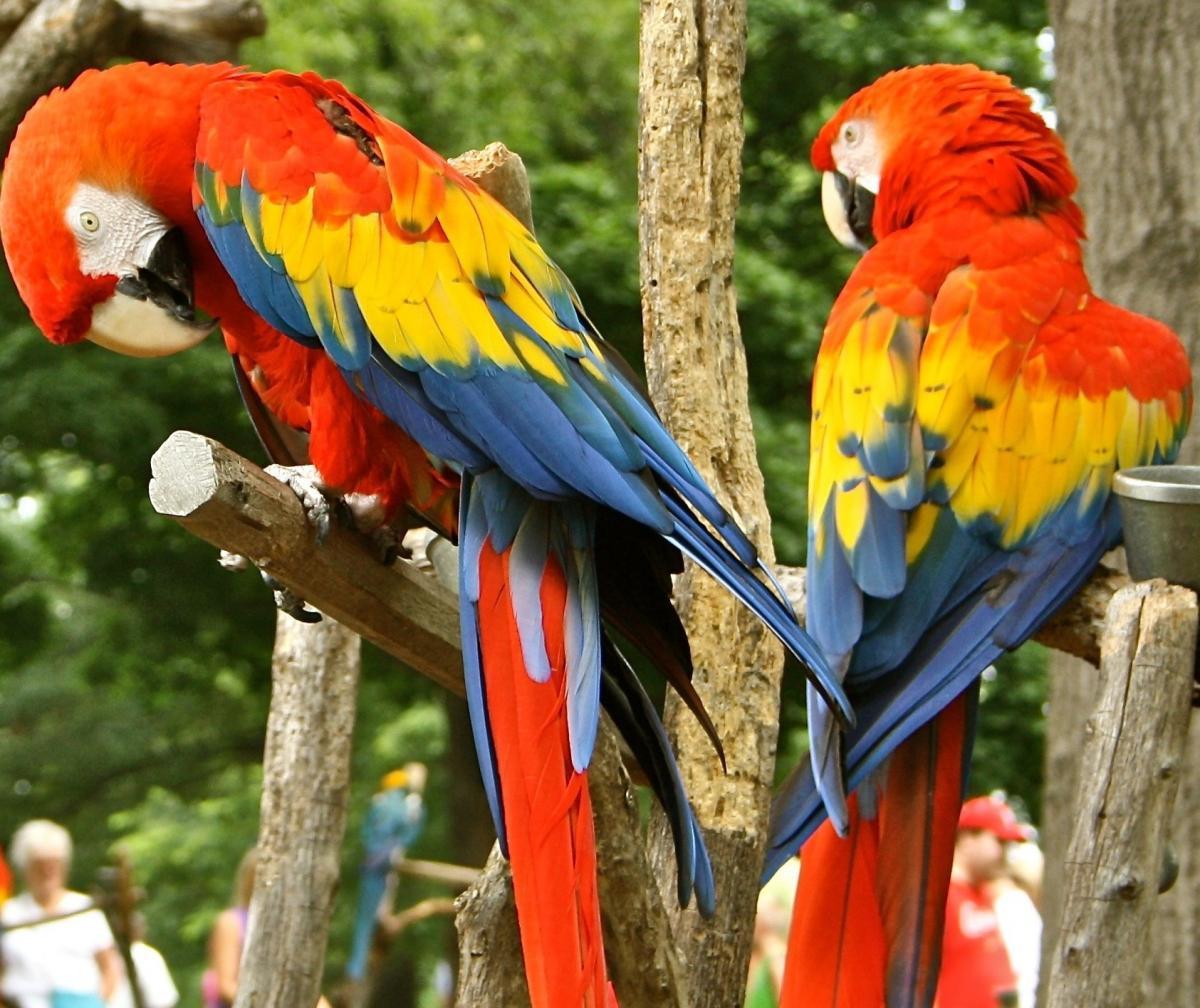 Scarlett Macaw Birds For Sale
