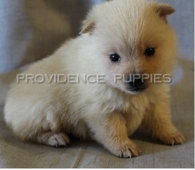 Schipperke Puppies For Sale Los Angeles Ca 144928