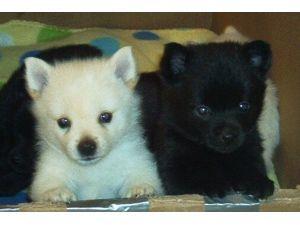 Schipperke Puppies For Sale Chicago Il 196735