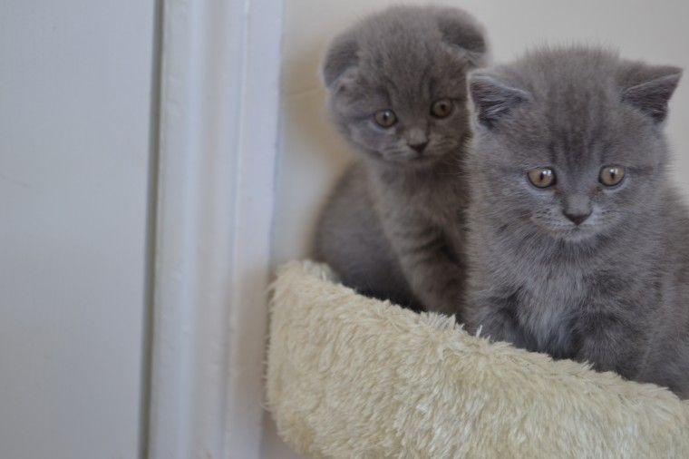 frontline flea for cats