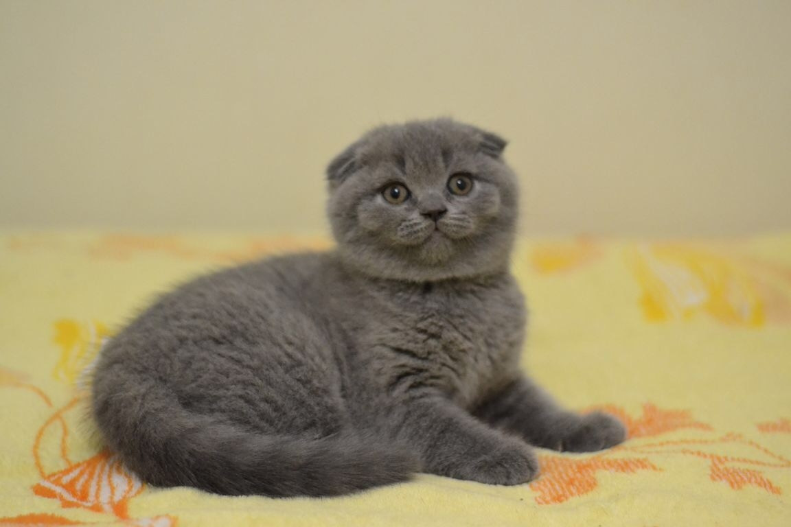 Scottish Fold Kittens For Sale Miami