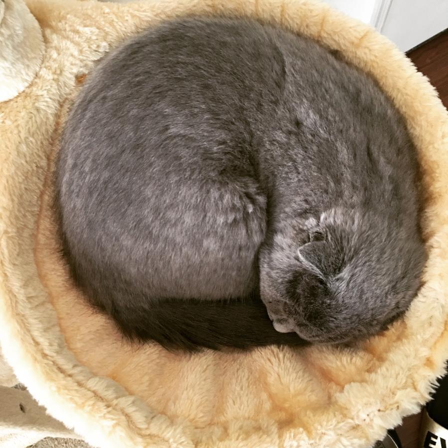 Scottish Fold Cat For Sale In Va