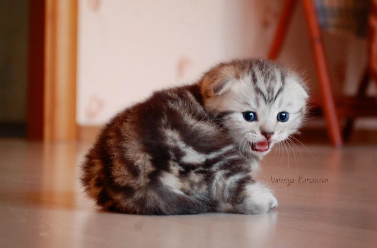 Scottish Fold Cats For Sale   Frog Hollow, CT #266208