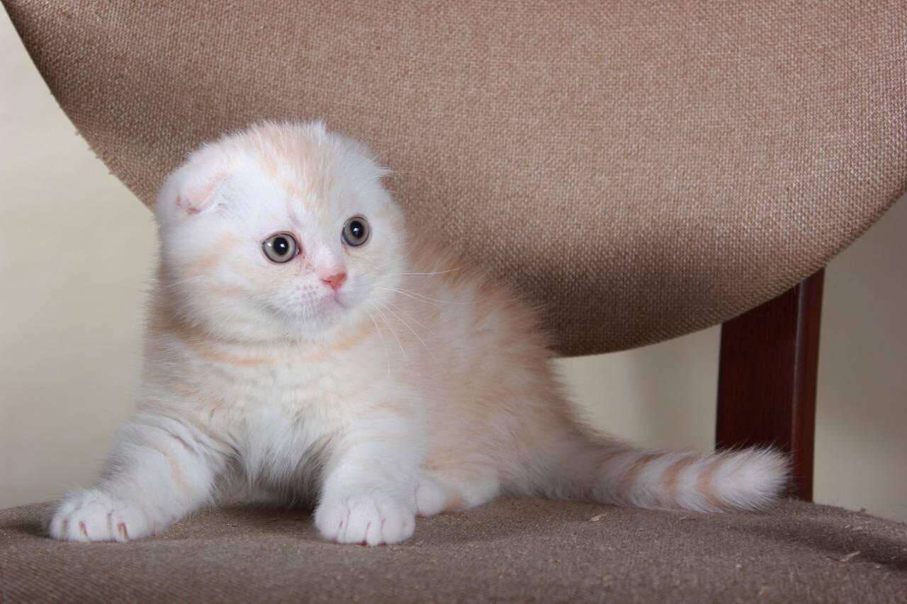 Scottish fold kittens for sale miami