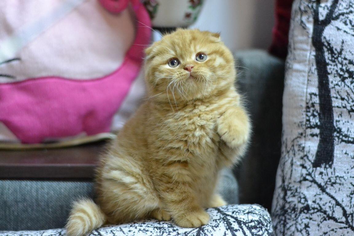 Scottish Fold Kittens For Sale Florida