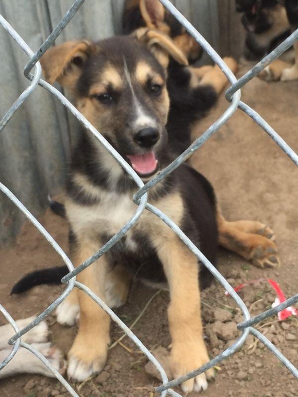 Shepherd Husky Puppies For Sale Higginsville Mo 217200