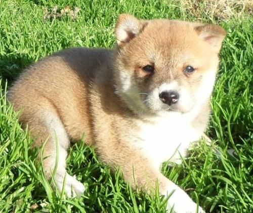 Shiba Inu For Sale In Chatham County 5 Petzlover