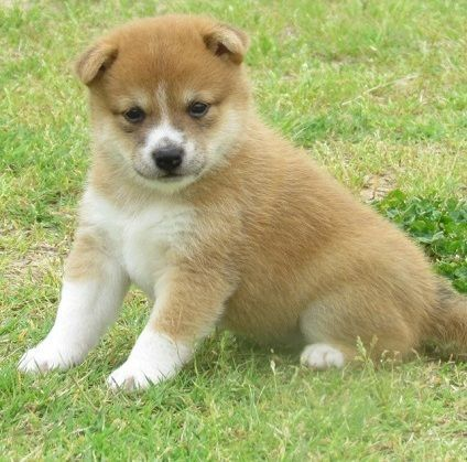 Shiba Inu Puppies For Sale Dallas Tx 178274 Petzlover