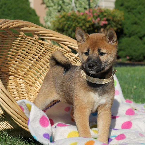 2 Shiba Inu For Sale In Indiana 37 Petzlover