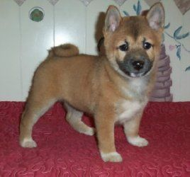 Shiba Inu Puppies For Sale Wylie Tx 272794 Petzlover