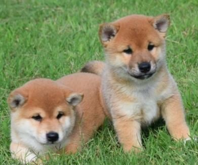 Shiba Inu Puppies For Sale Museum Mile New York Ny 284154