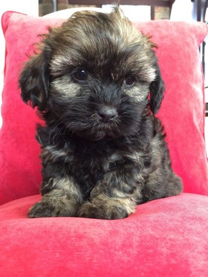 Shih Poo Puppies For Sale West Springfield Ma 196020