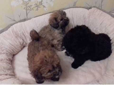 Shih Poo Puppies For Sale Austin Tx 256524 Petzlover
