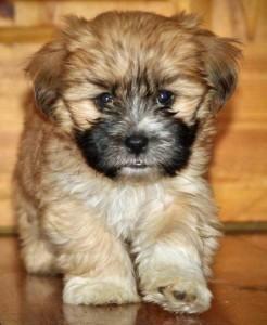 Shih Tzu Puppies For Sale Kansas City Ks 96415
