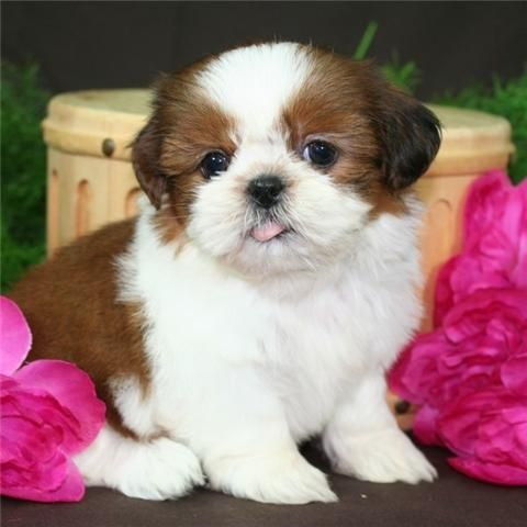 Shih Tzu Puppies For Sale | Green Bay, WI #111451