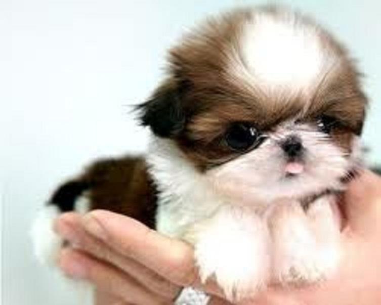 Shih Tzu Puppies For Sale Denver Co 116624 Petzlover
