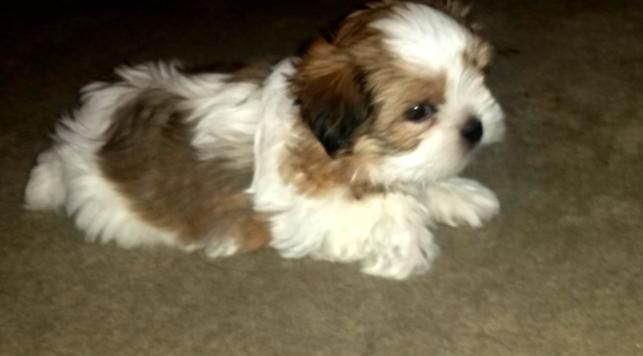 Shih Tzu Puppies For Sale Battle Lake Mn 123372