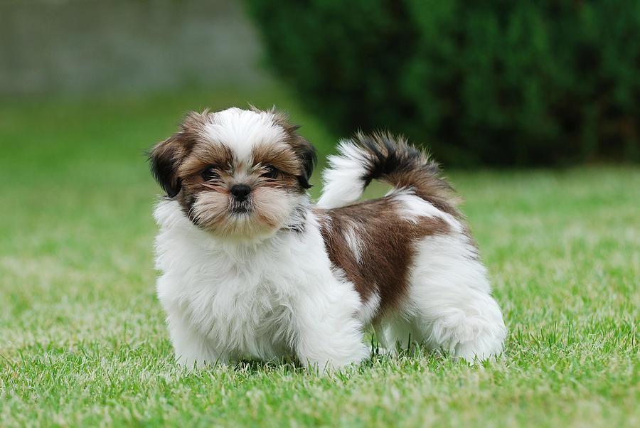 Cute shih tzu puppies for sale | Turkey | Pets4Homes