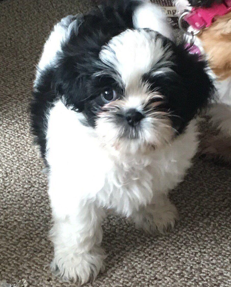 Shih Tzu Puppies For Sale Compton Ca 152160 Petzlover