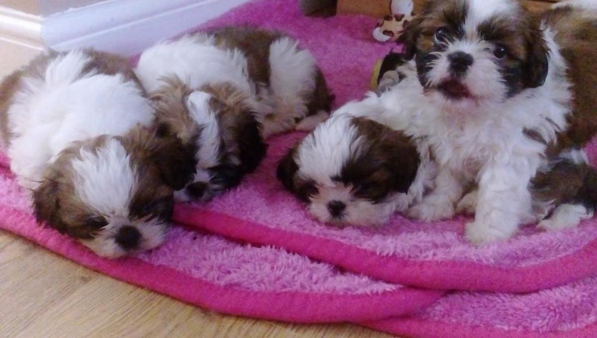 Shih Tzu Puppies For Sale Corpus Christi Tx 153893