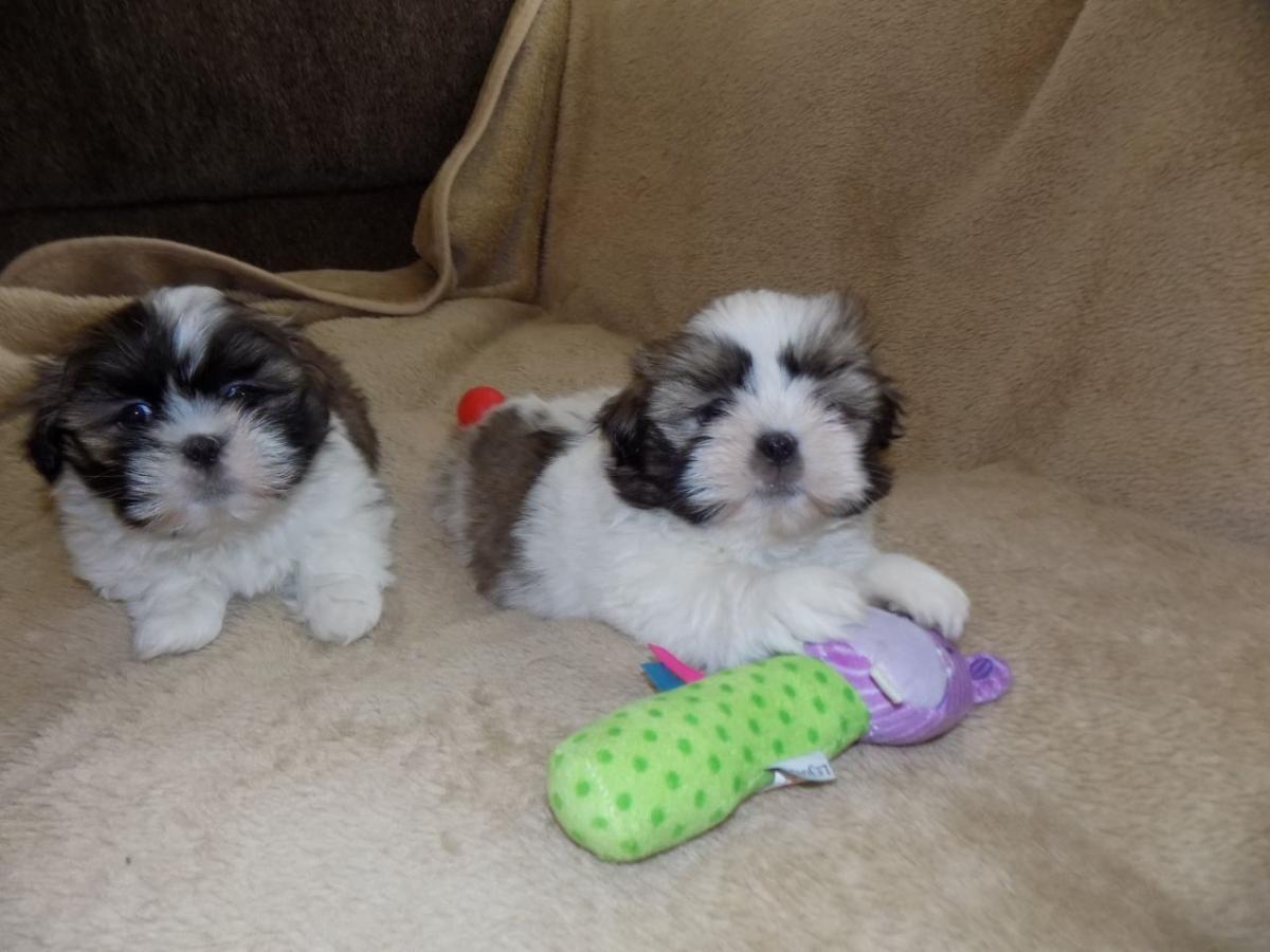 Shih Tzu Puppies For Sale El Paso Tx 153950 Petzlover