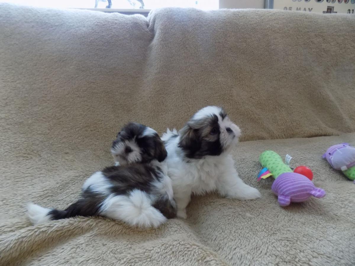 Shih Tzu Puppies For Sale El Paso Tx 153951 Petzlover