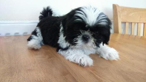 Shih Tzu Puppies For Sale Gilbert Az 154942 Petzlover