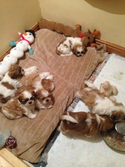 Shih Tzu Puppies For Sale Wichita Ks 170724 Petzlover