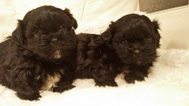 Shih Tzu Puppies For Sale West Leonard Road Addison Township Mi