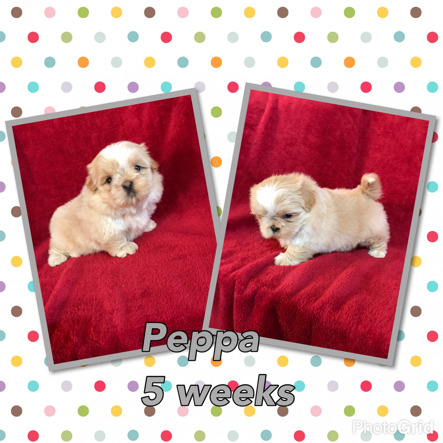 Shih Tzu Puppies For Sale Baxley Ga 178946 Petzlover