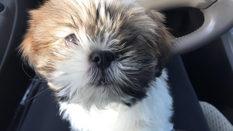 Shih Tzu Puppies For Sale Madison Heights Mi 182346