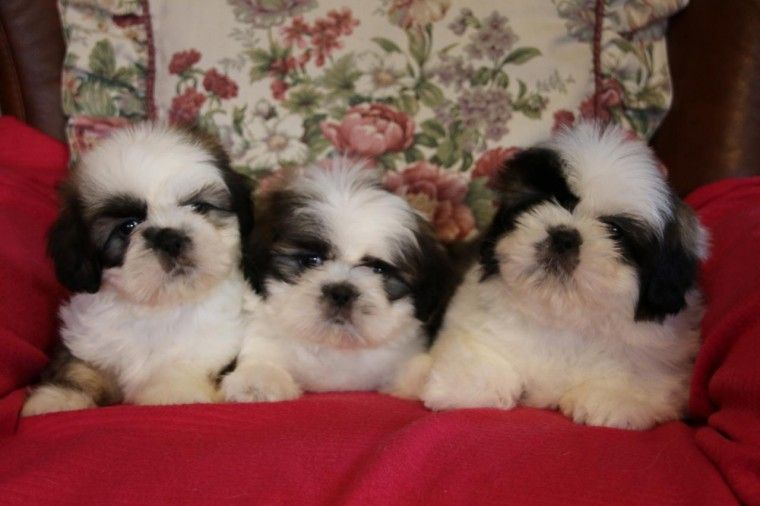 Shih Tzu Puppies For Sale Waco Tx 183413 Petzlover