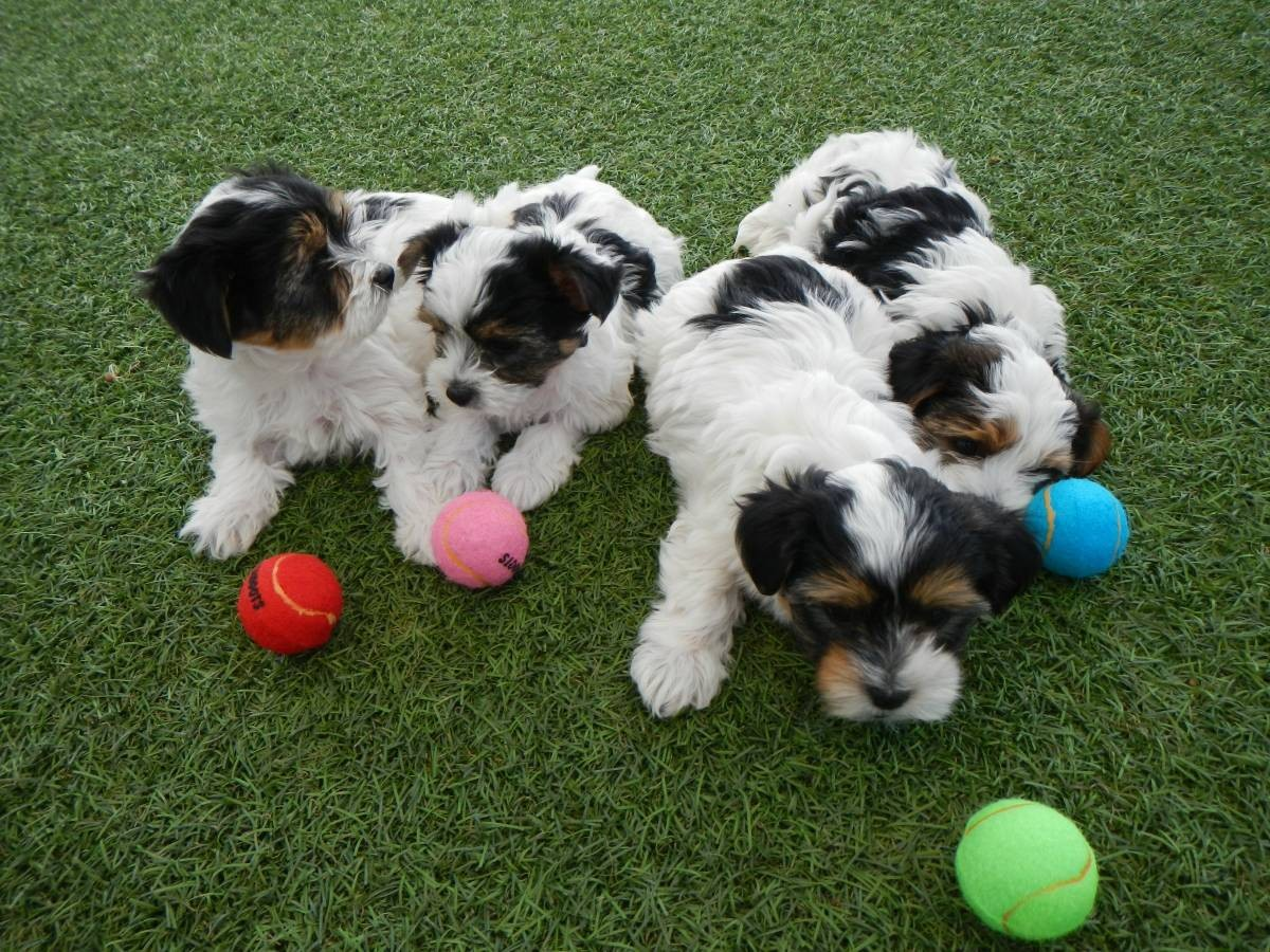 shih tzu breeders in virginia shih tzu puppies for sale virginia beach va 189537 5023