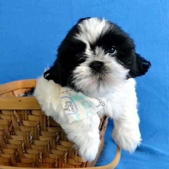 Shih Tzu Puppies For Sale Jackson Ms 190640 Petzlover