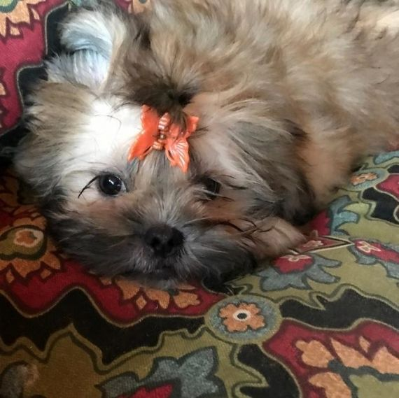 shih tzu for sale chicago shih tzu puppies for sale chicago il 192485 petzlover 1522