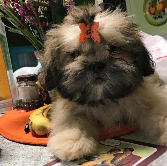 shih tzu for sale chicago shih tzu puppies for sale chicago il 192486 petzlover 9590