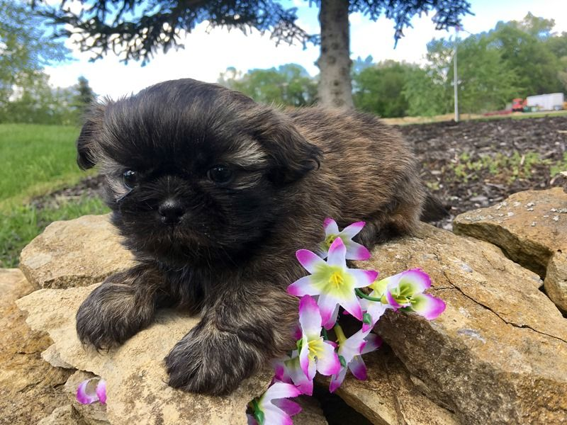 Shih Tzu Puppies For Sale Ohio