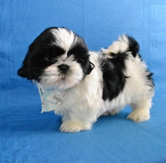 Shih Tzu Puppies For Sale Texas Avenue Tx 195370