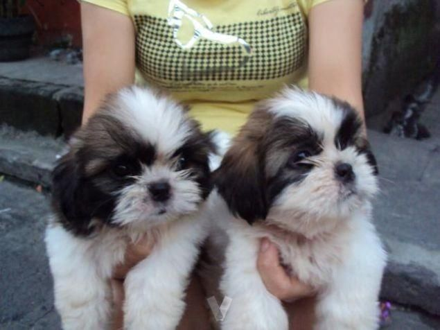 shih tzu breeders in md shih tzu puppies for sale maryland city md 196730 2563