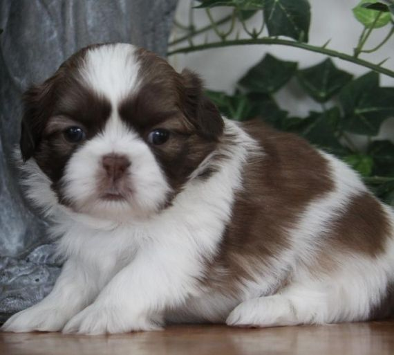 Shih tzu puppies columbia sc