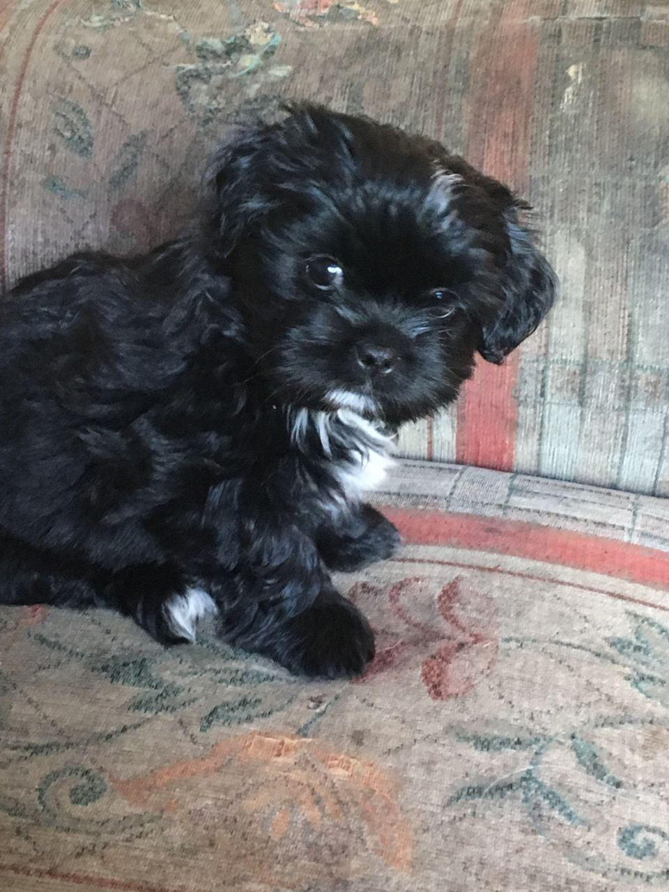 shih tzu for sale in arkansas shih tzu puppies for sale white hall ar 199402 840