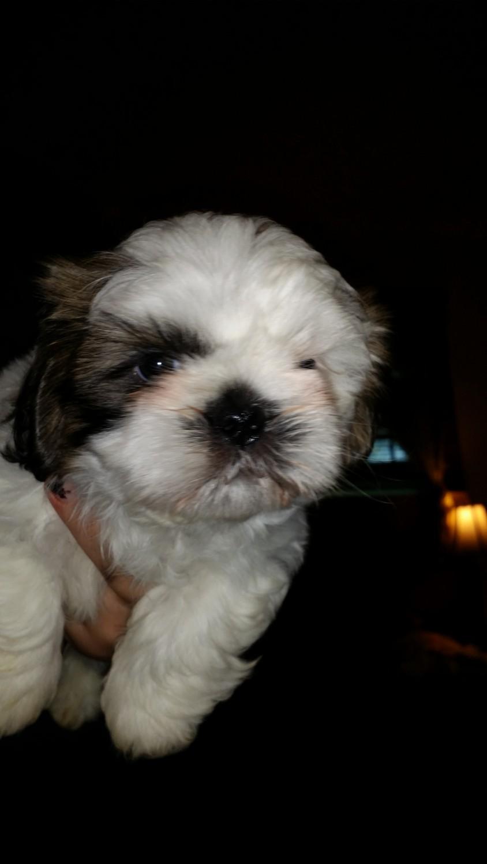 Shih Tzu Puppies For Sale Centralia Mo 202903