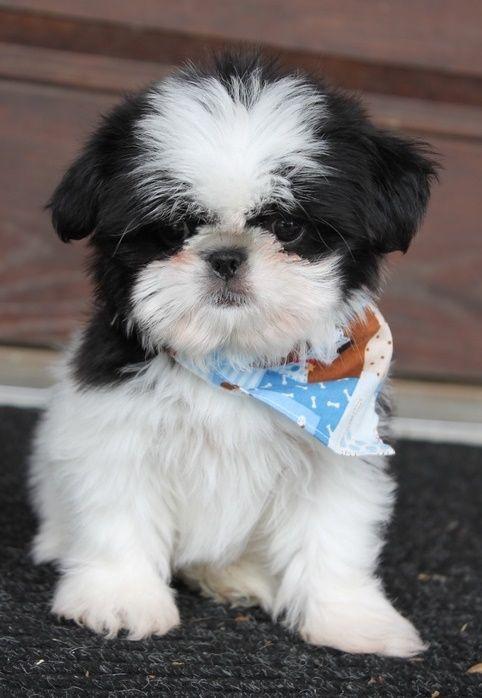 Shih Tzu Puppies For Sale Orlando Fl 207987 Petzlover