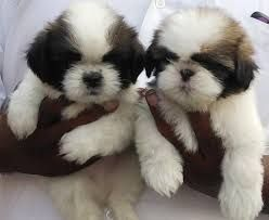 shih tzu for sale in arkansas shih tzu puppies for sale little rock ar 209348 3284