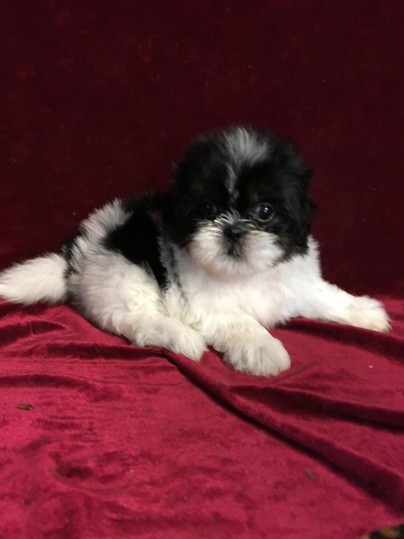 Shih Tzu Puppies For Sale New Orleans La 209546