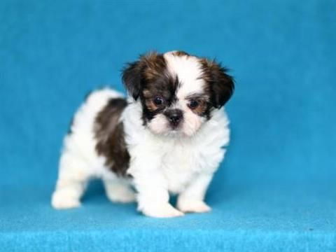 5 Shih Tzu For Sale In Atlanta 77 Petzlover